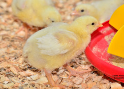 Feeding Broiler Chickens for Profit