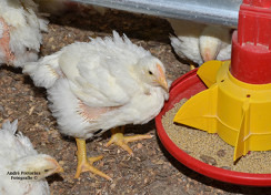 Protein and Energy Levels of Broiler Breeder Diets?