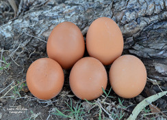 Alternative Poultry Production Systems; Are they what they are cracked up to be?