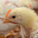 Feeding the Young Broiler Chick in Practice: A Review by RIick Kleyn (1) and Peter Chystal (2)