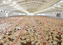 Some thoughts on stocking Density in Broilers